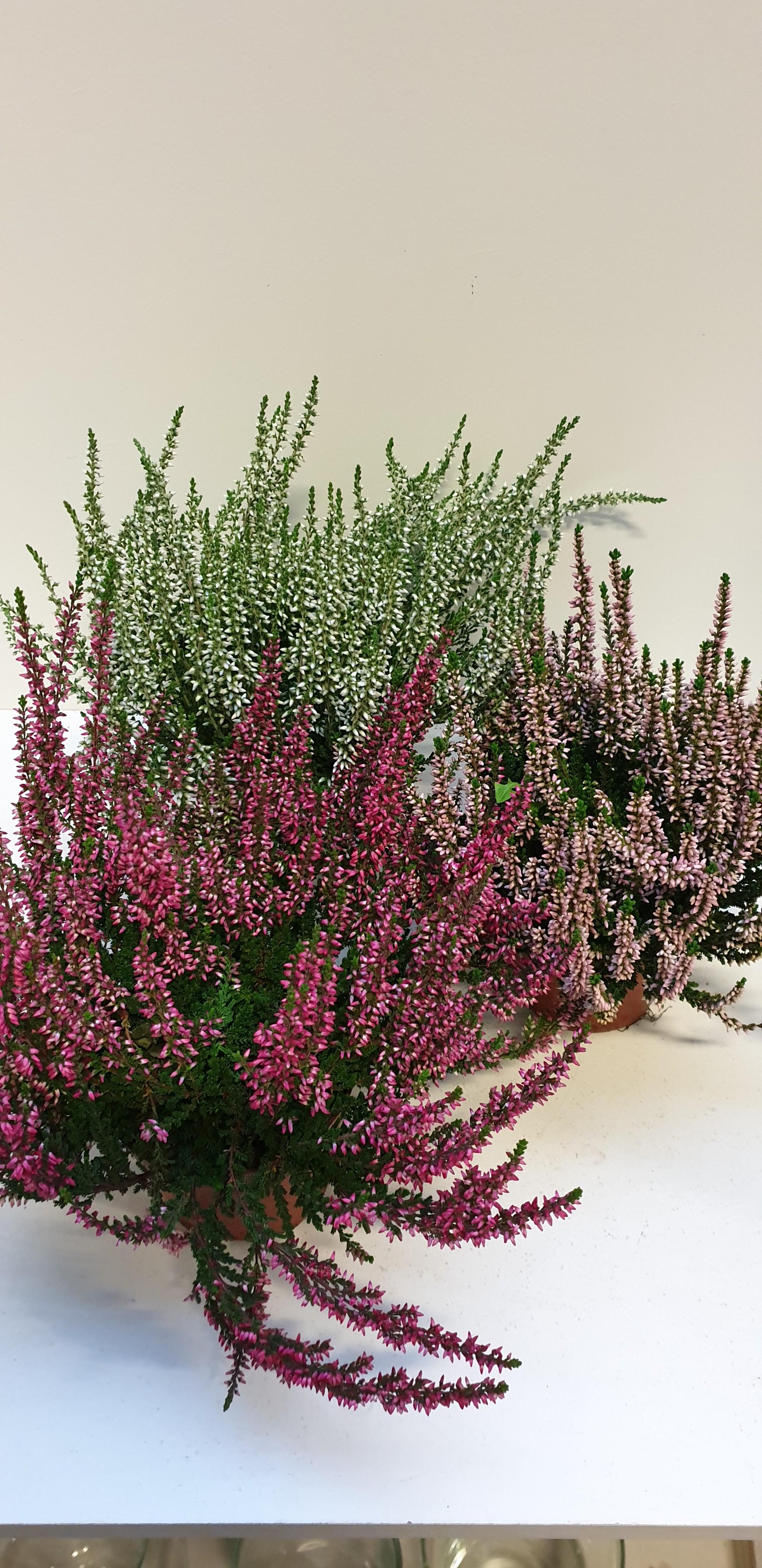 Calluna p12 roze