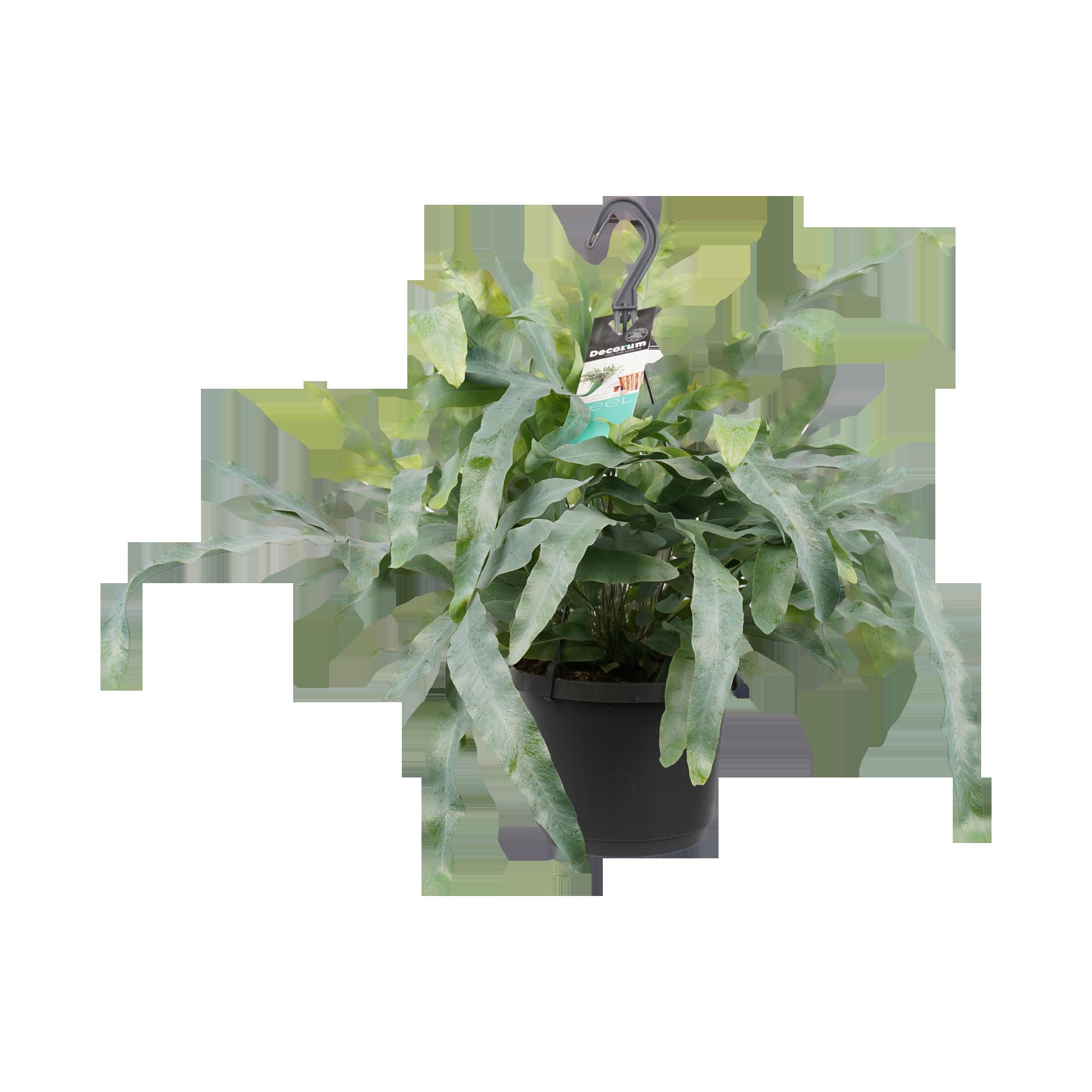 Decorum Phlebodium aureum 'Blue Star'