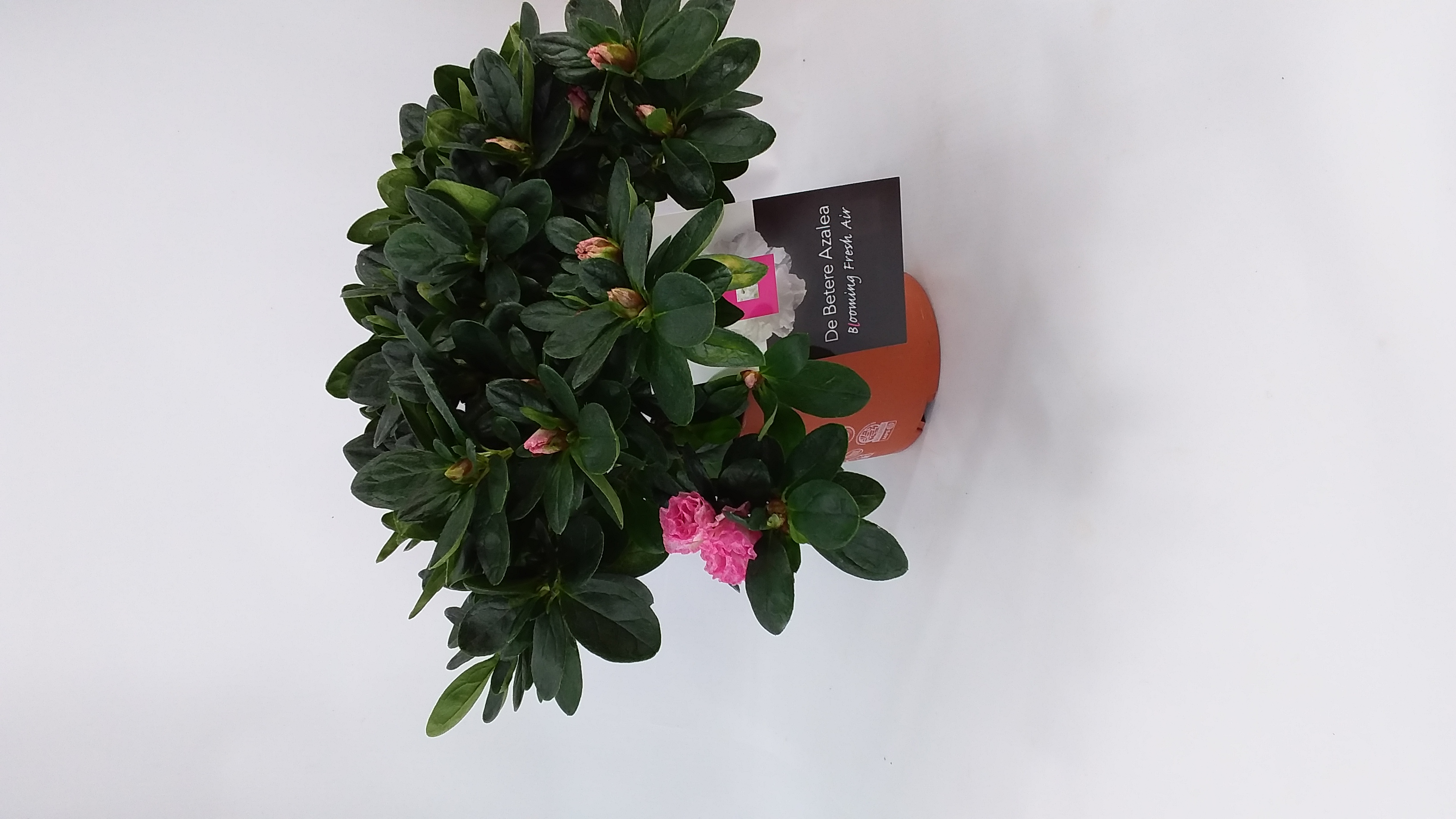 Azalea roze