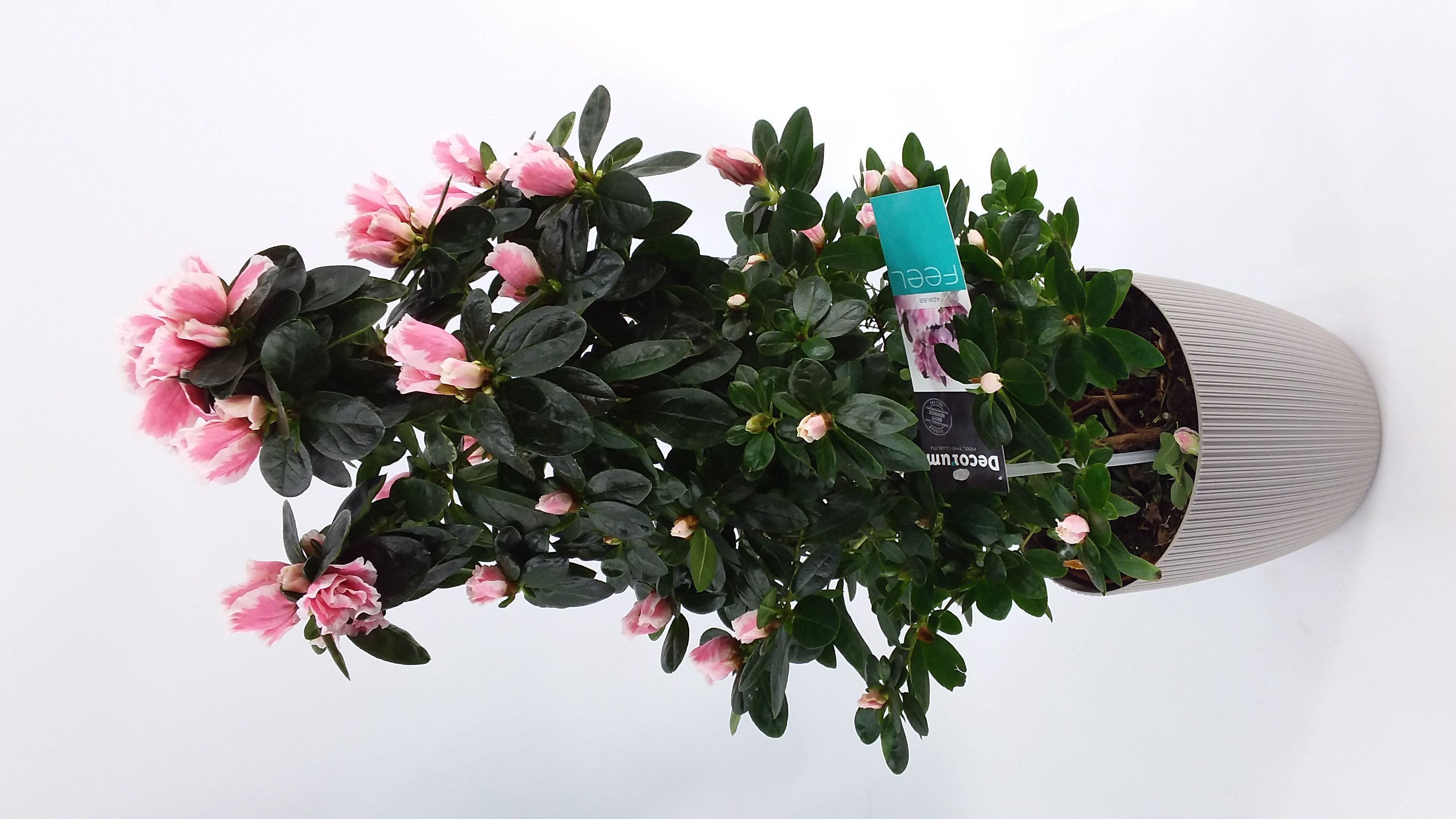 Azalea pyramide roze