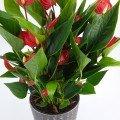Anthurrium million flowers rood