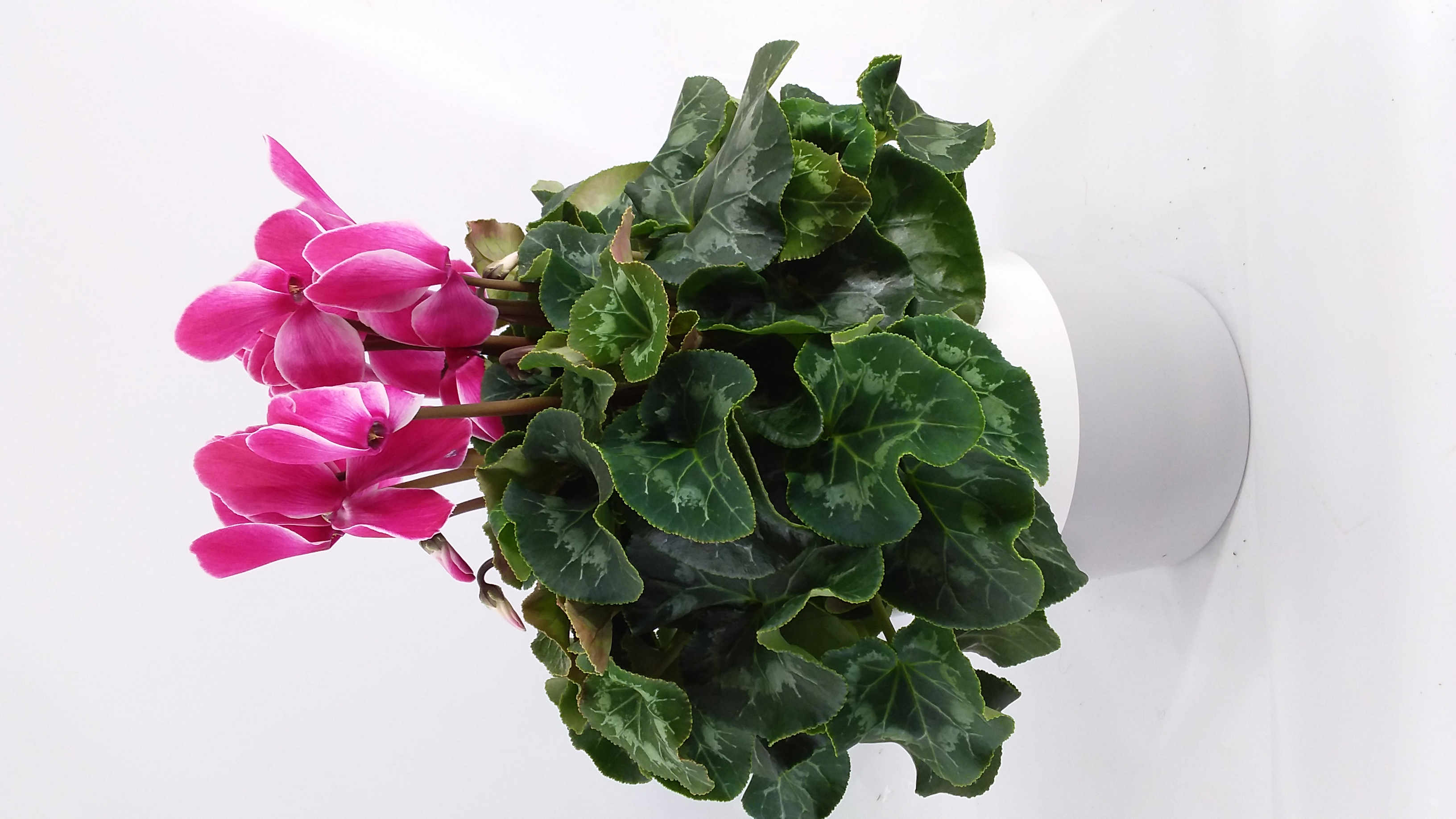 Cyclamen Super serie roze