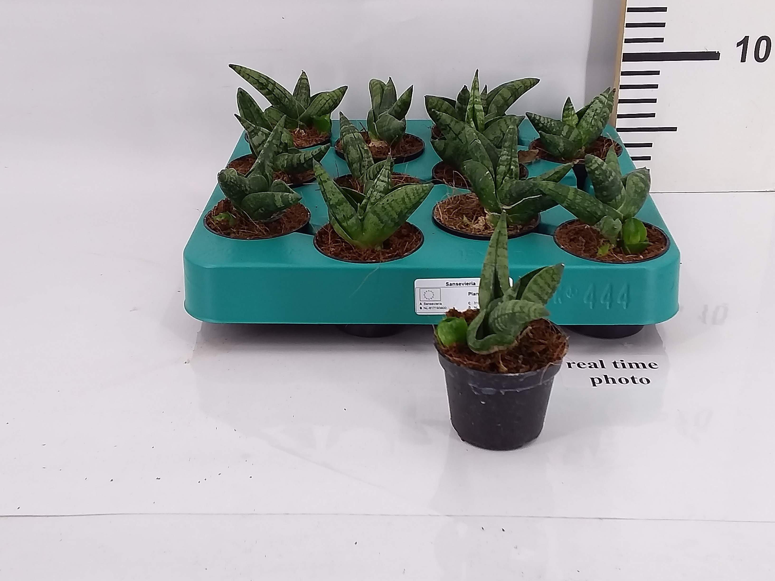Sanseveria mini groen