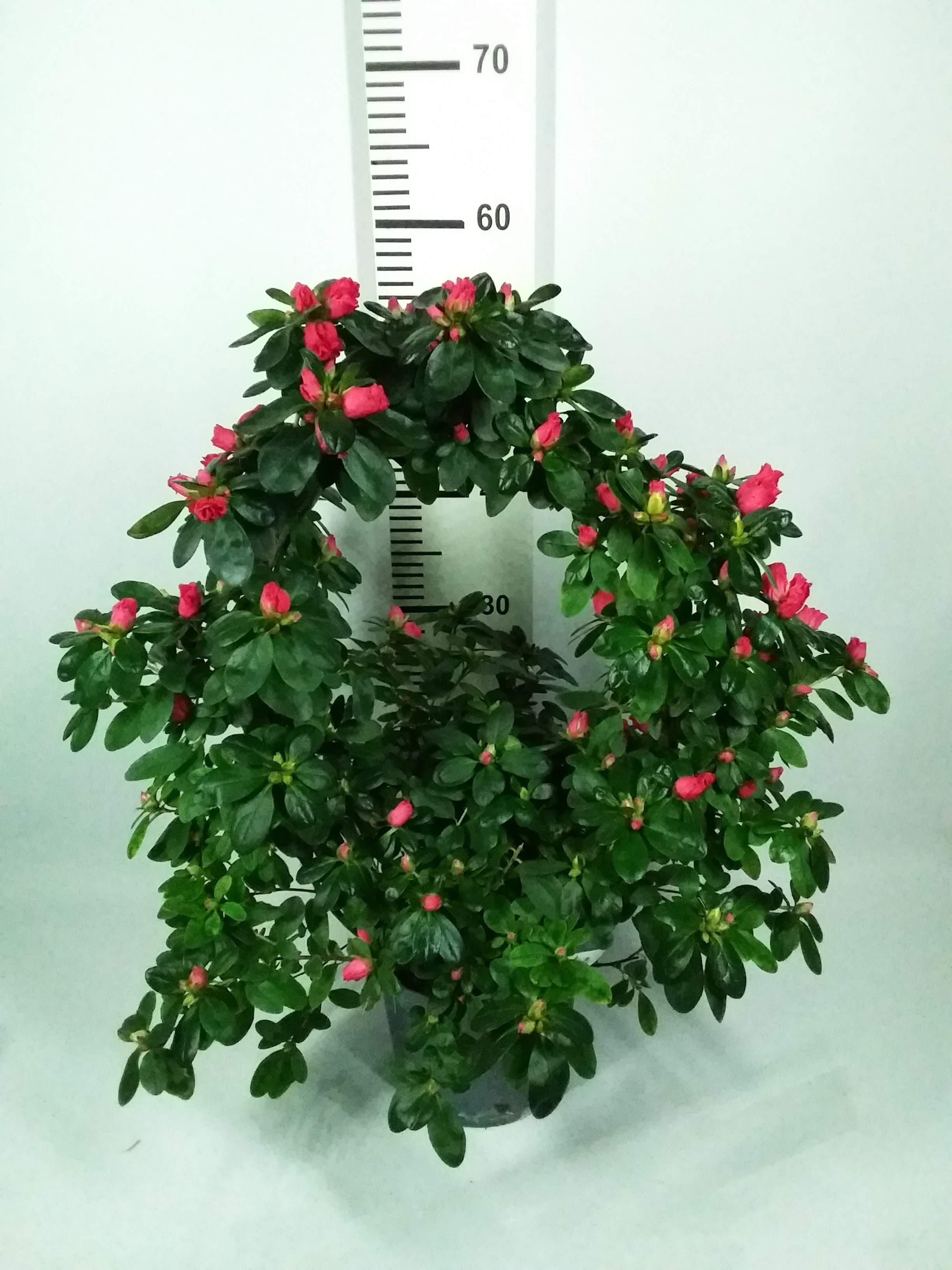 Azalea in boogvorm rood