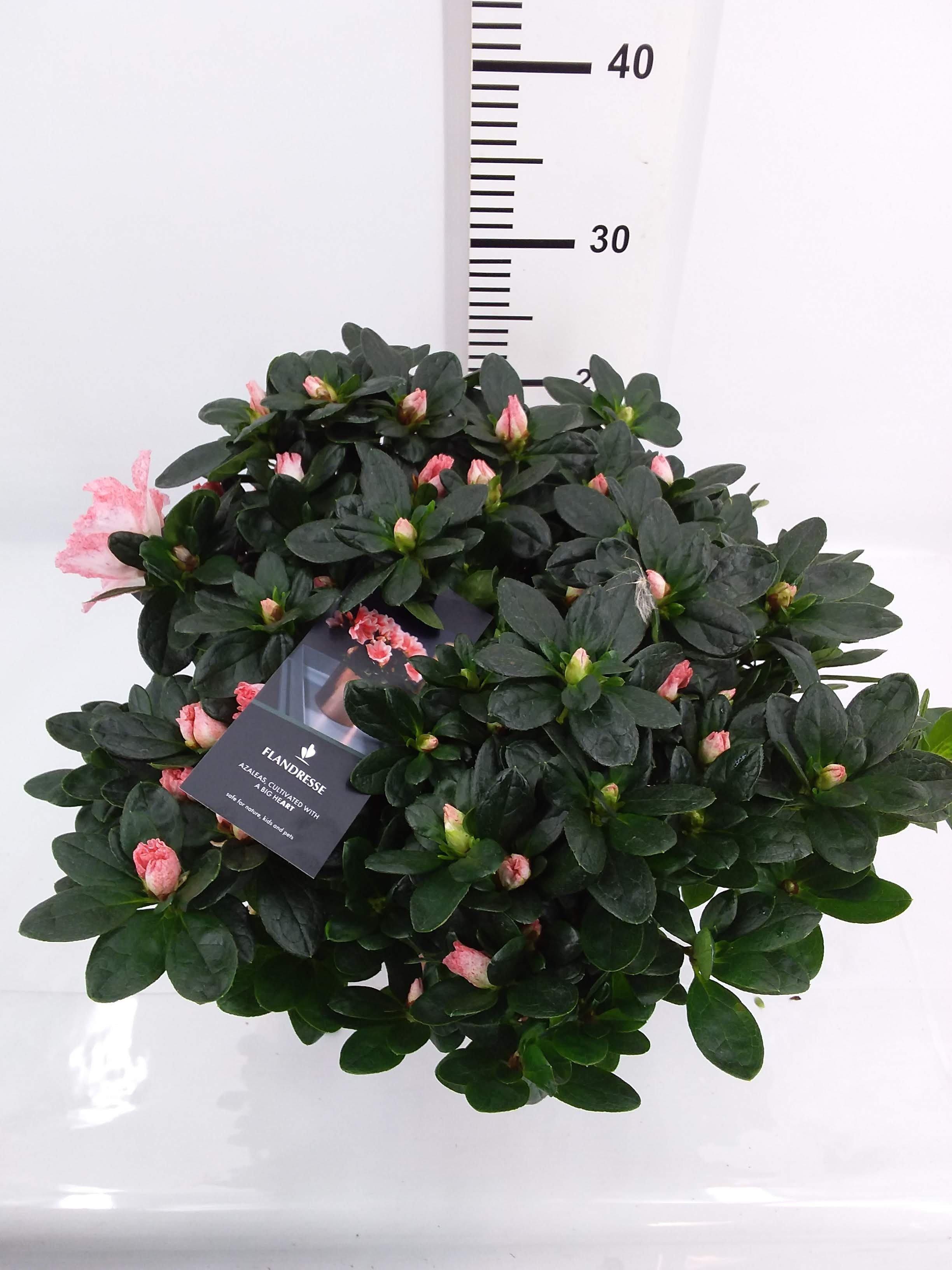 Azalea Flandresse roze p16