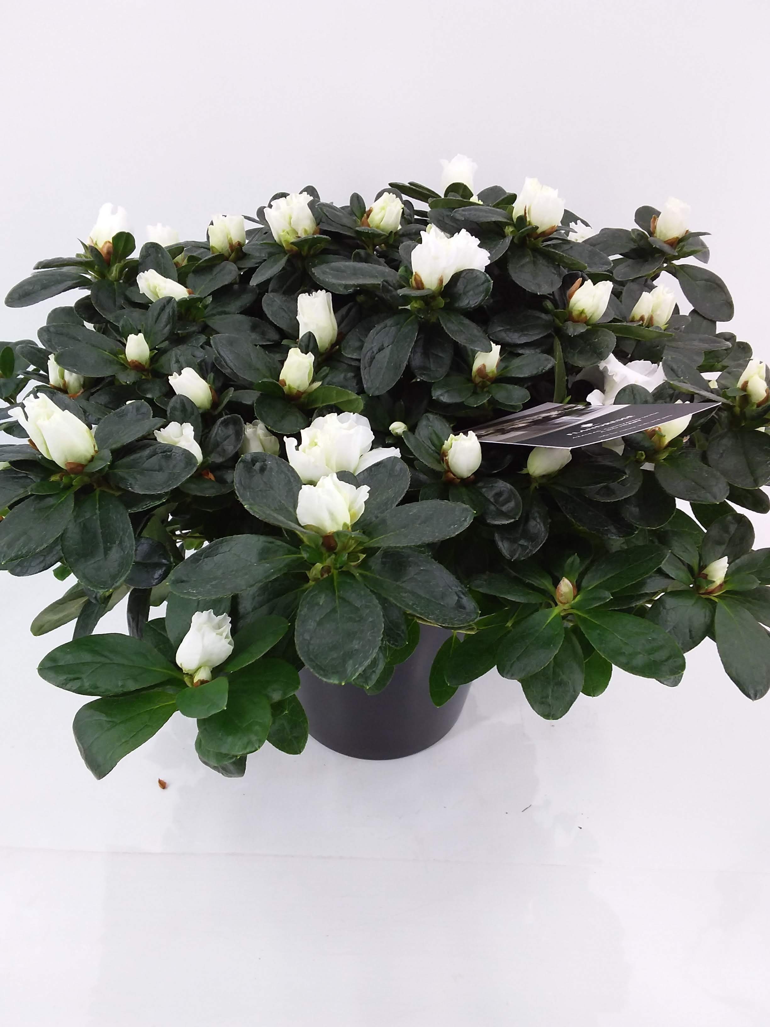 Azalea Flandresse wit p16