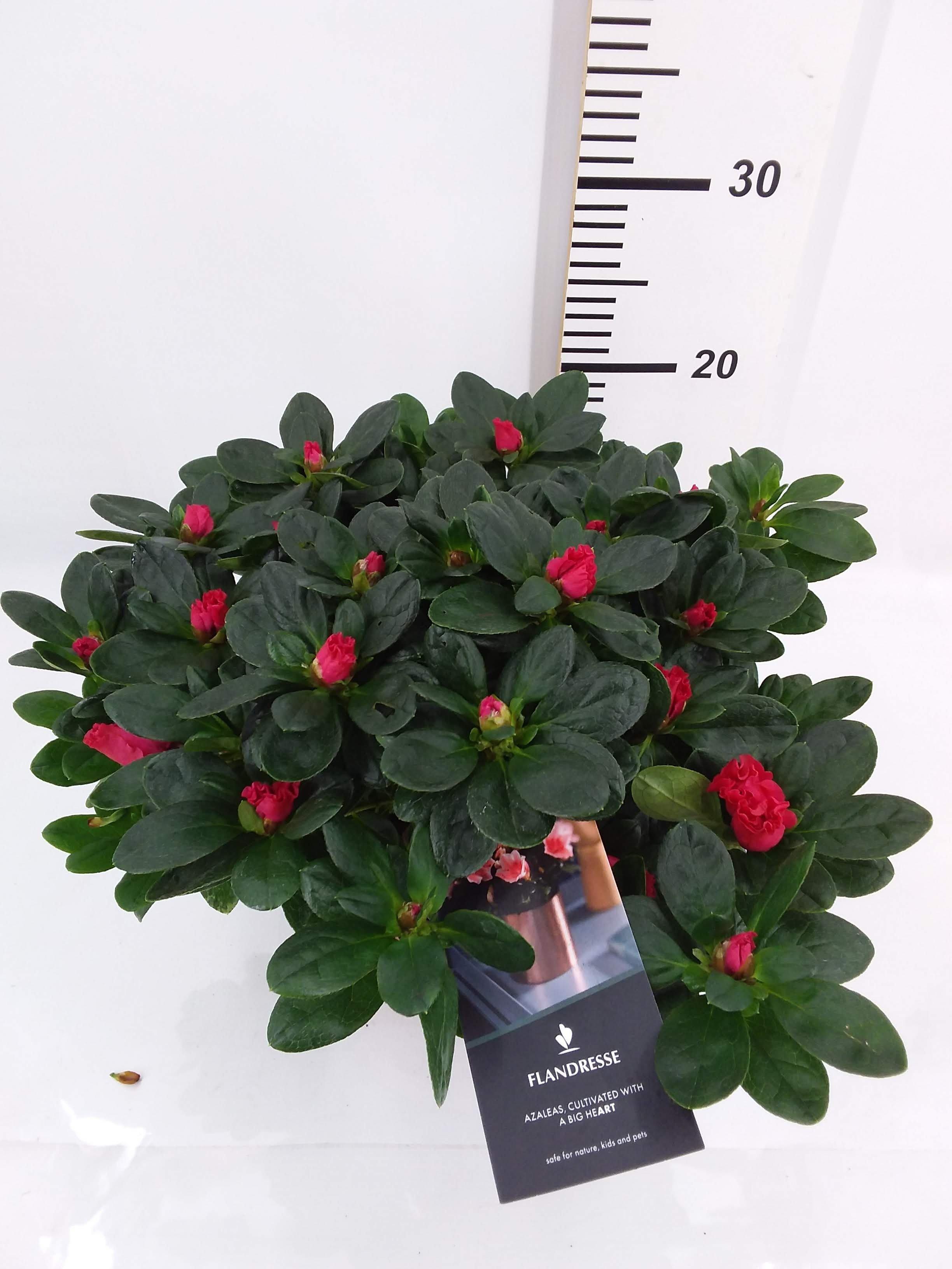 Azalea Flandresse rood