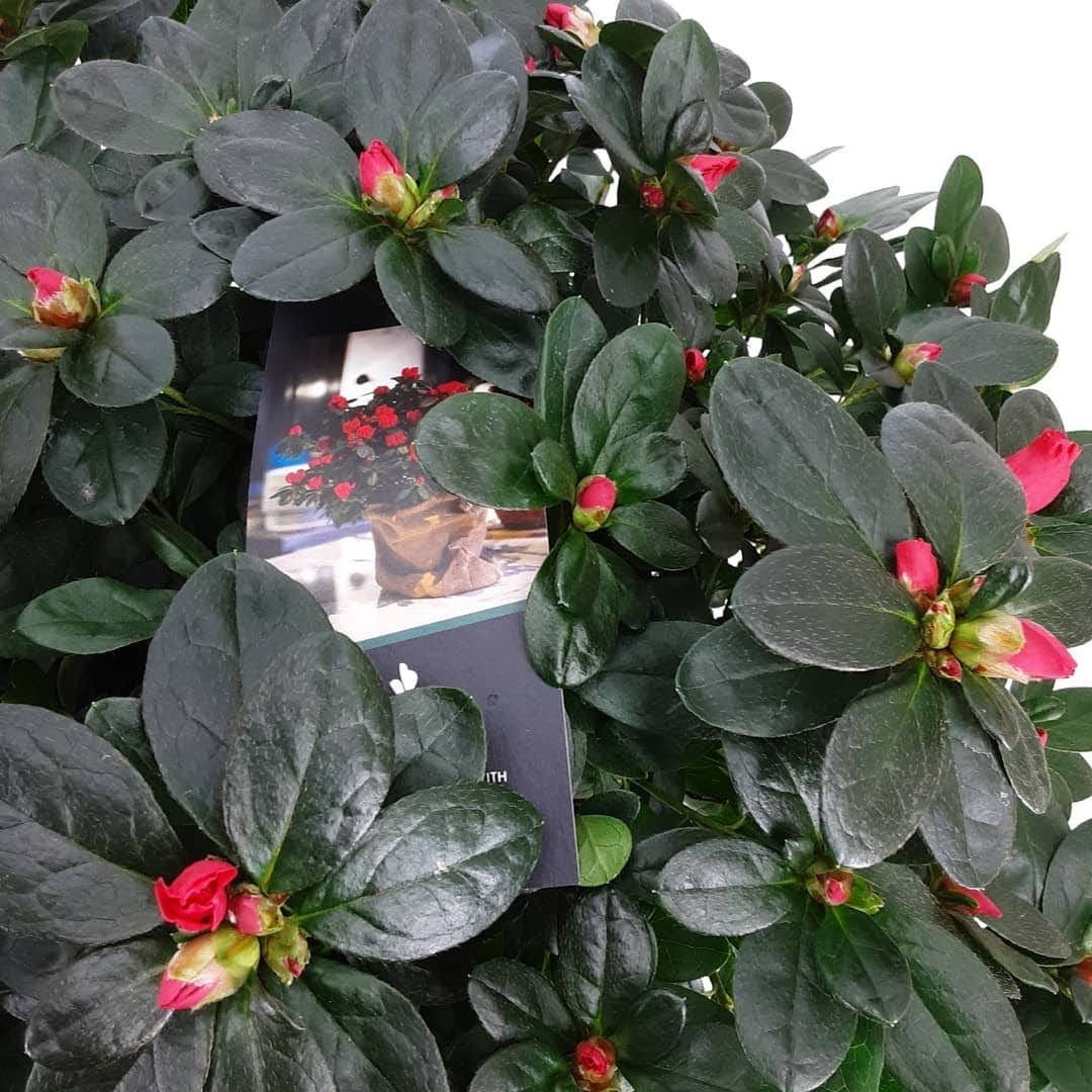 Azalea Flandresse roze