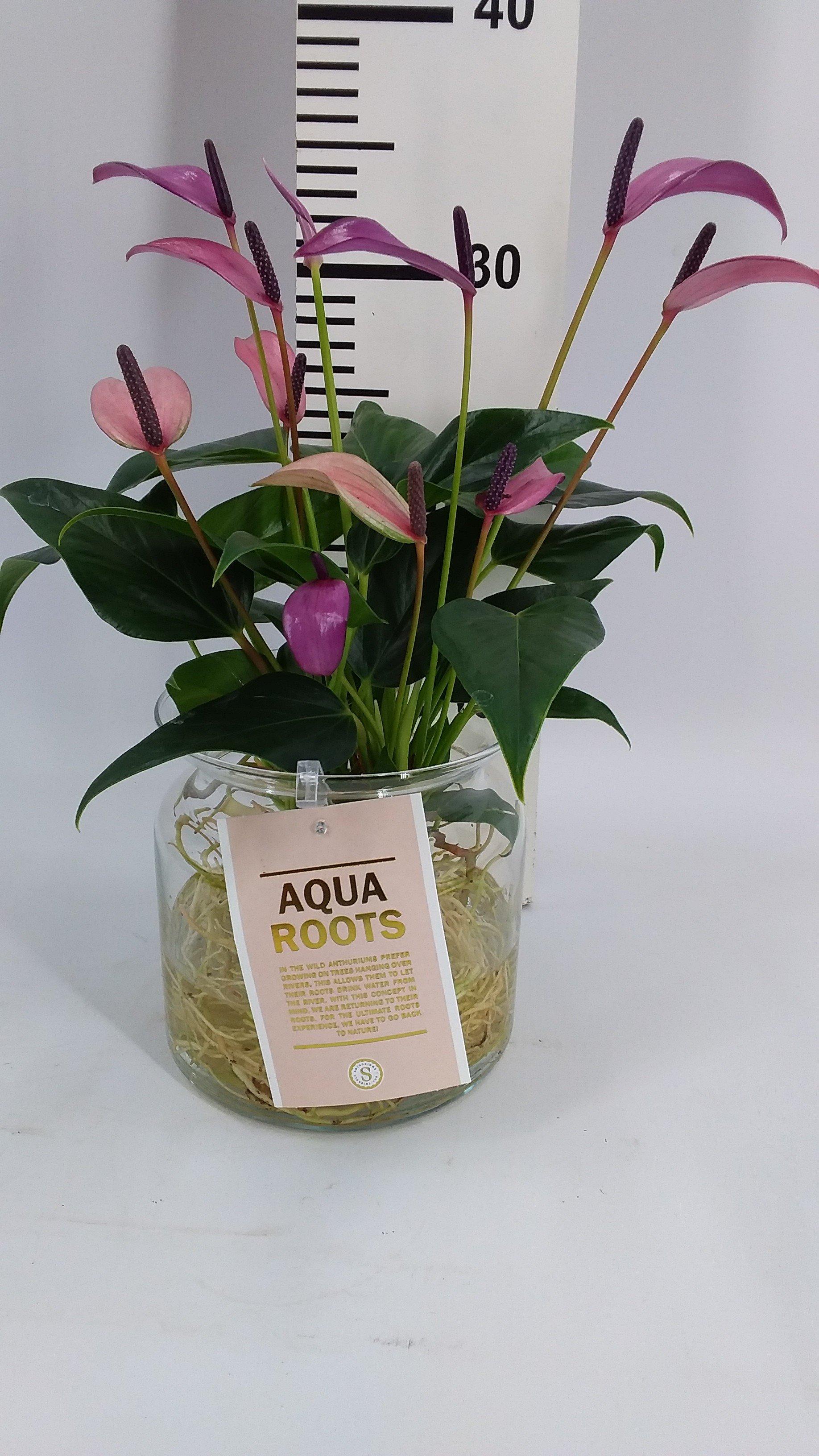 Anthurrium Aqua Zizou