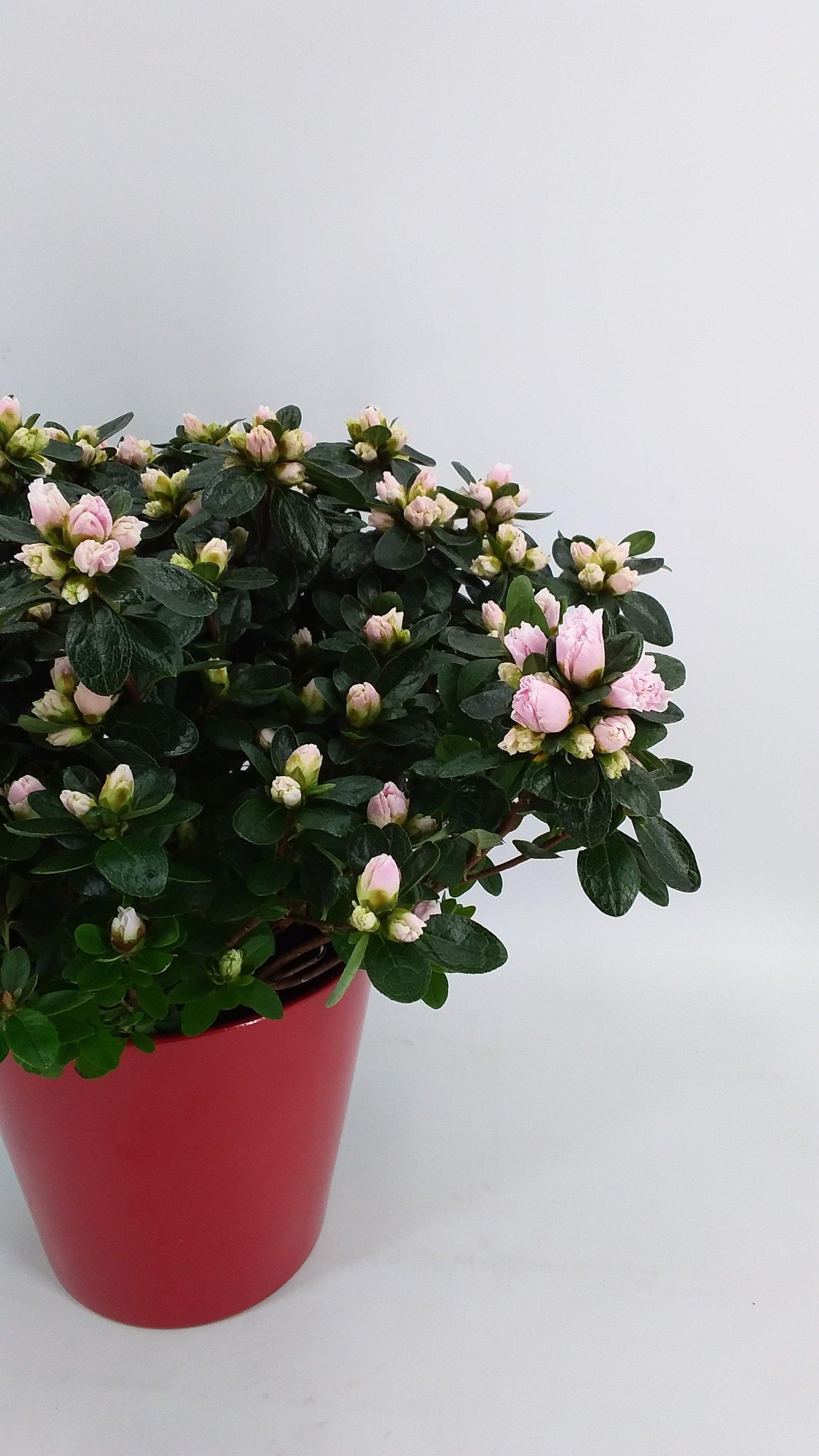 Azalea Christine roze L