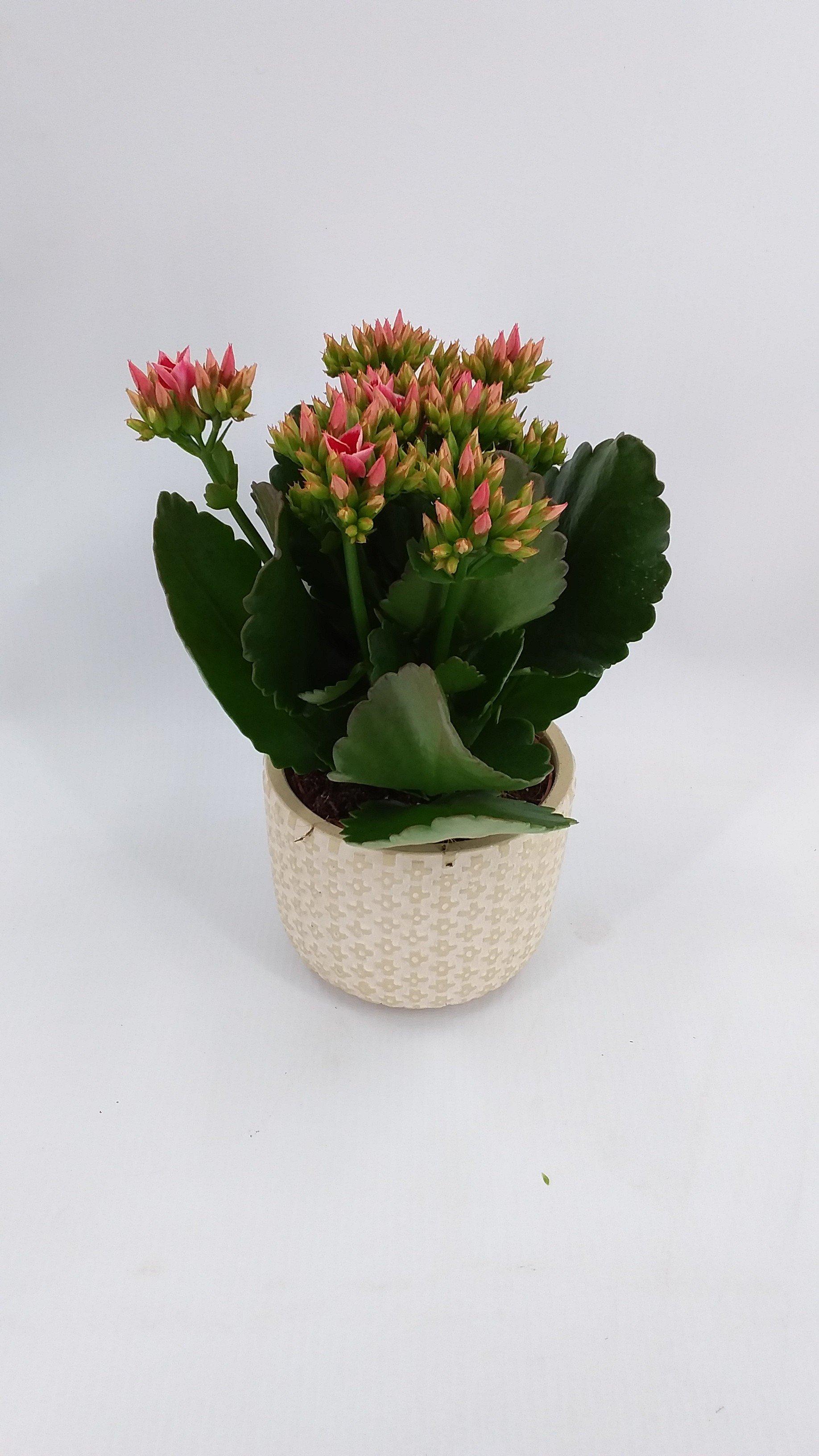 Kalanchoe Piton roze