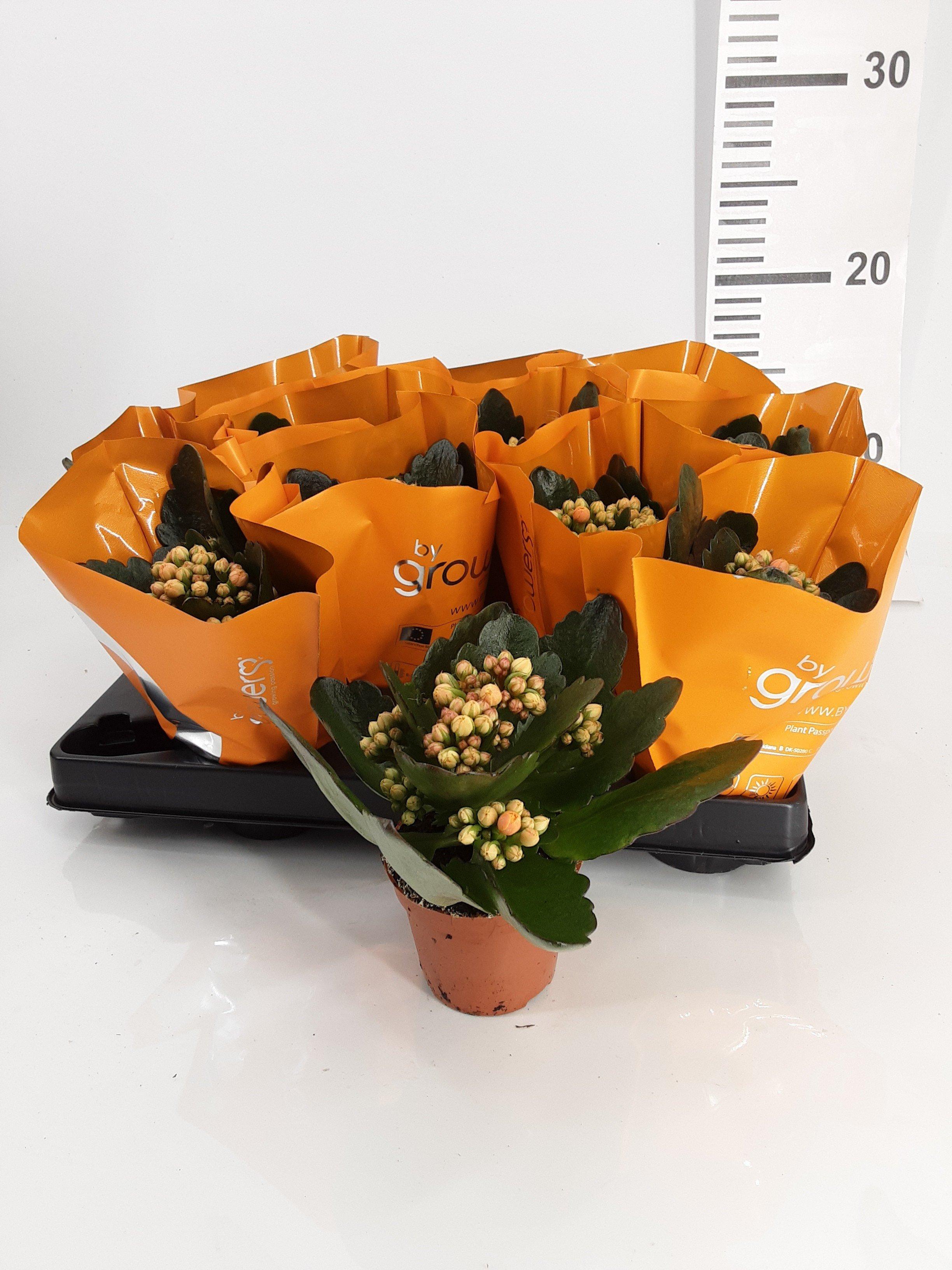 Kalanchoe - Calandiva mini oranje