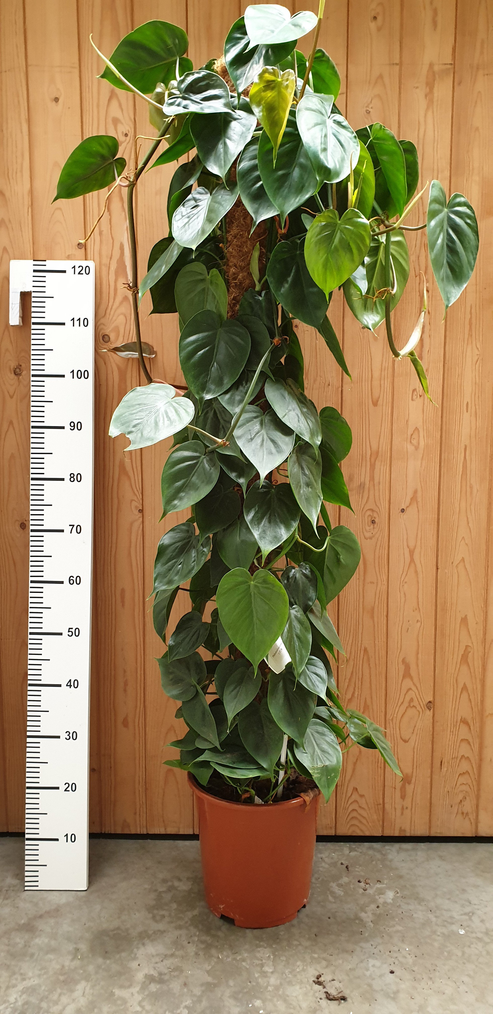 Philodendron scandens op mosstok