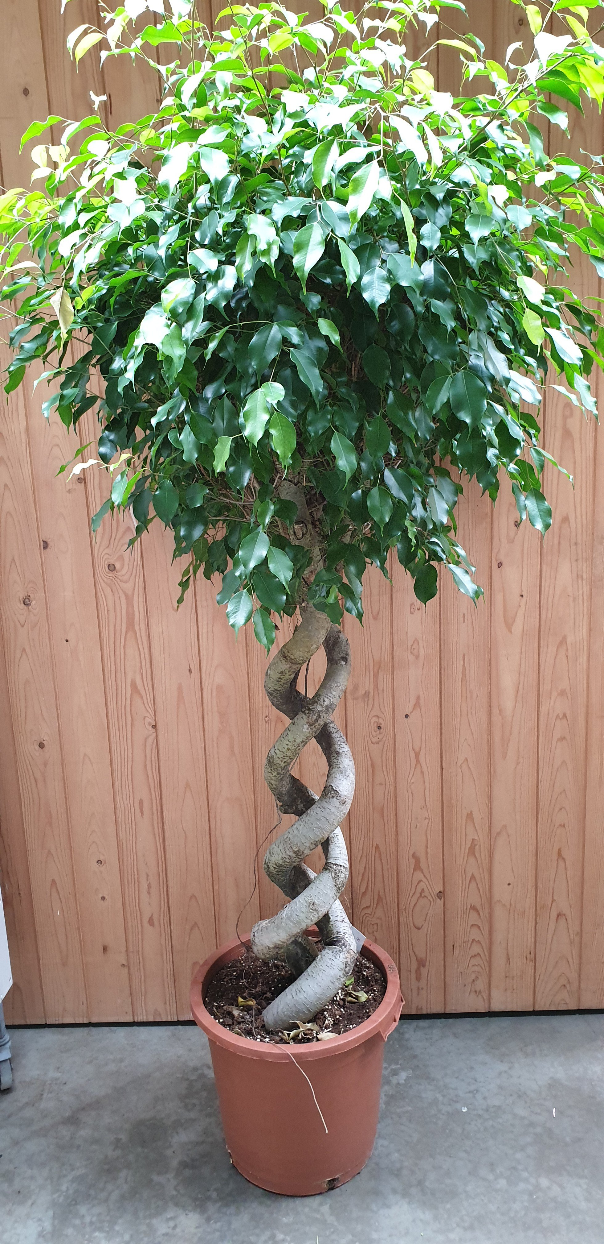 Ficus benjamina gedraaide stam